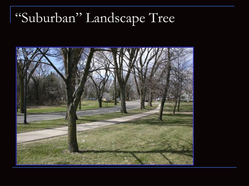 """Suburban"" Landscape Tree"