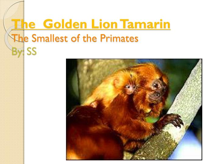 the golden lion tamarin the smallest of the primates by ss n.
