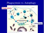 phagocytosis vs autophagy