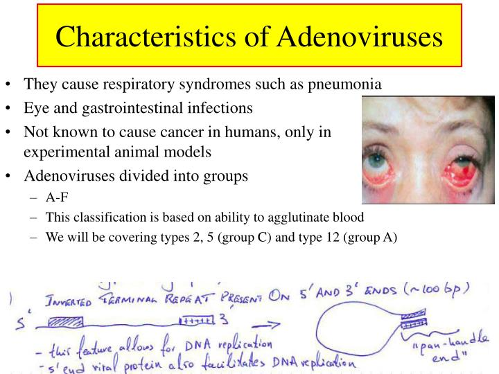 Characteristics of adenoviruses3