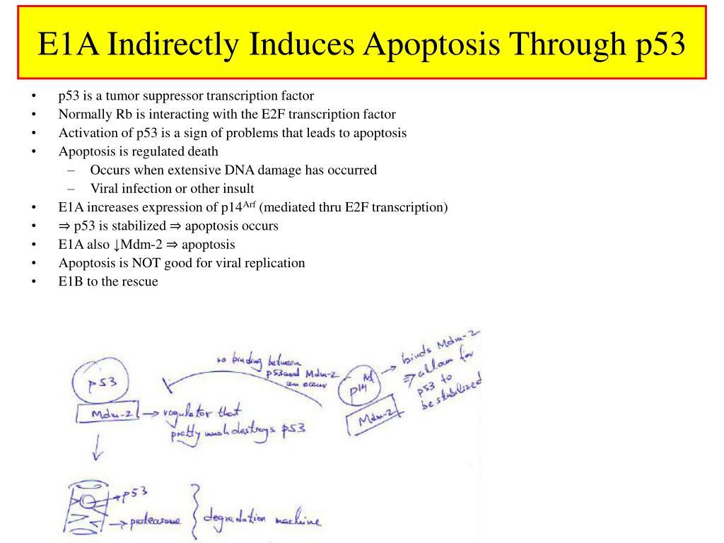 E1A Indirectly Induces Apoptosis Through p53