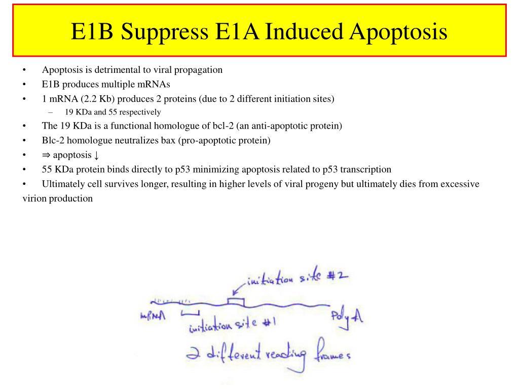 E1B Suppress E1A Induced Apoptosis