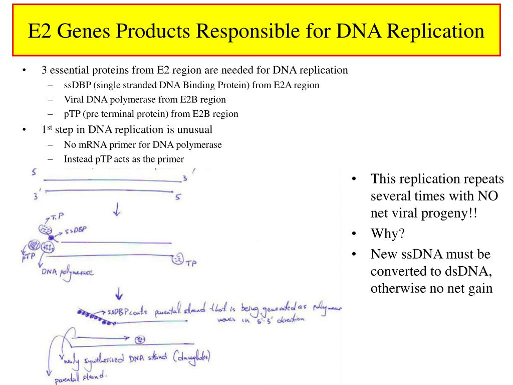 E2 Genes Products Responsible for DNA Replication