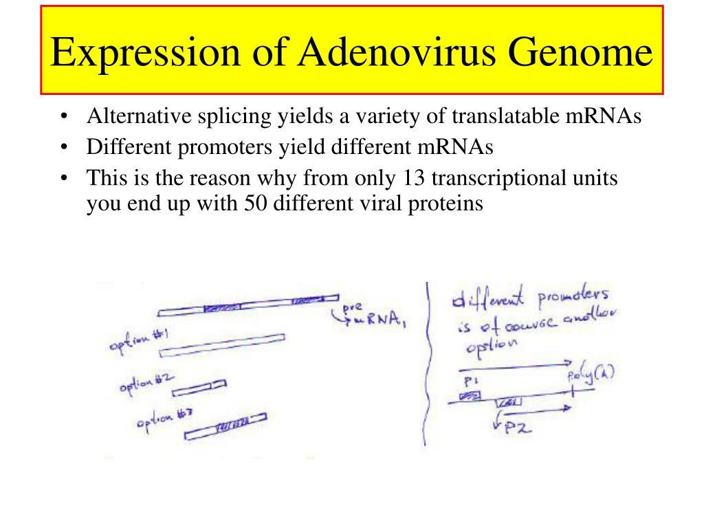 Expression of Adenovirus Genome