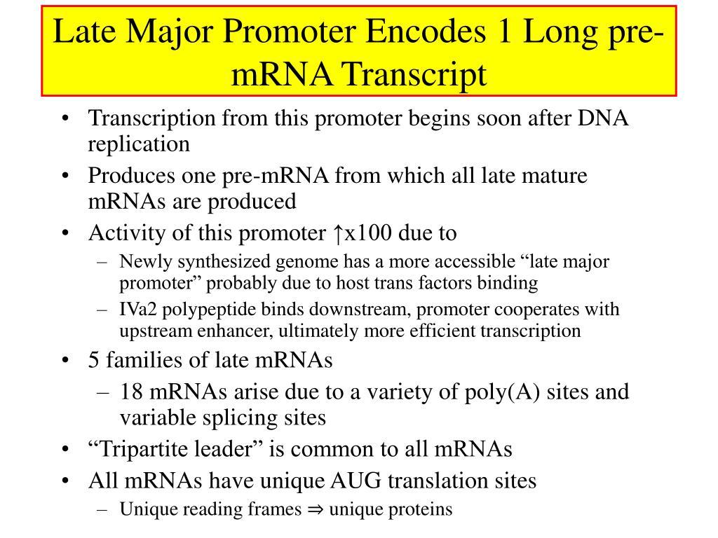 Late Major Promoter Encodes 1 Long pre- mRNA Transcript