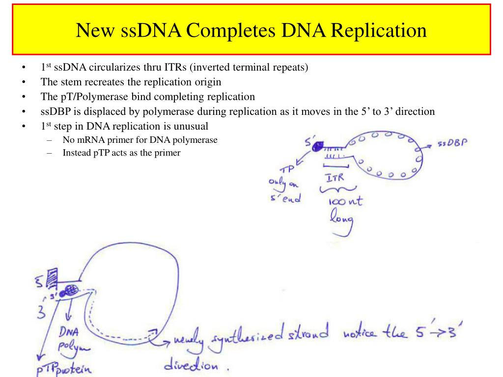 New ssDNA Completes DNA Replication