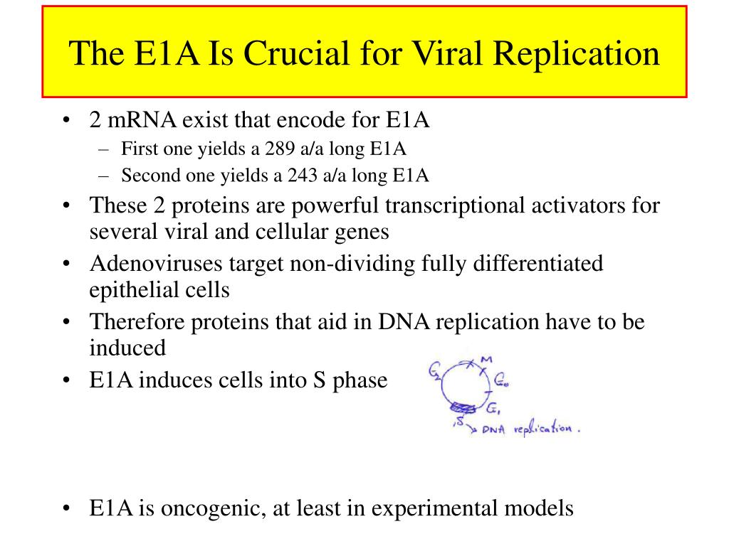 The E1A Is Crucial for Viral Replication