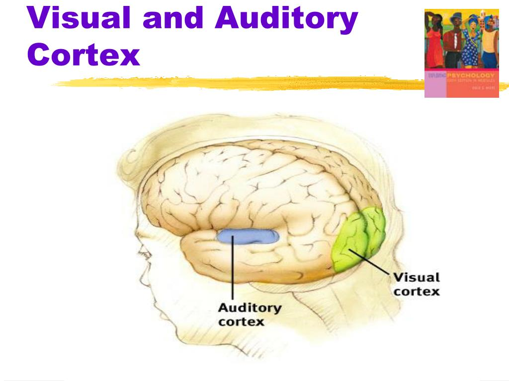 Visual and Auditory Cortex