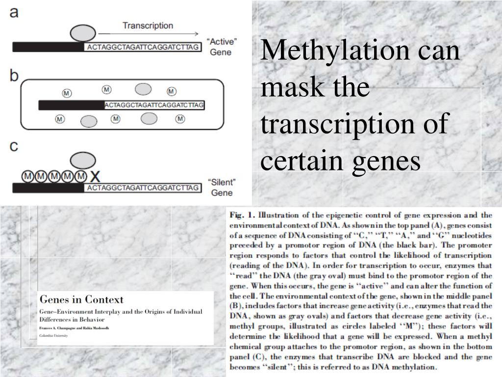 Methylation can mask the transcription of certain genes