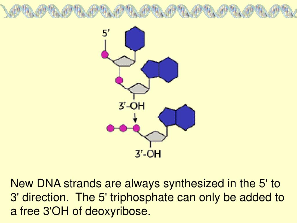 New DNA strands are always synthesized in the 5' to 3' direction.  The 5' triphosphate can only be added to a free 3'OH of deoxyribose.