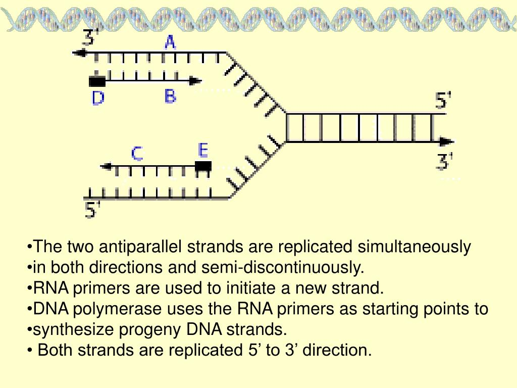 The two antiparallel strands are replicated simultaneously