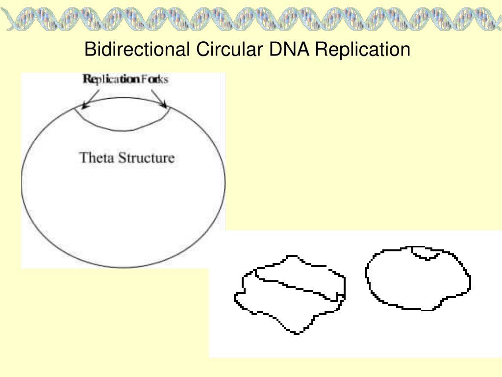 Bidirectional Circular DNA Replication