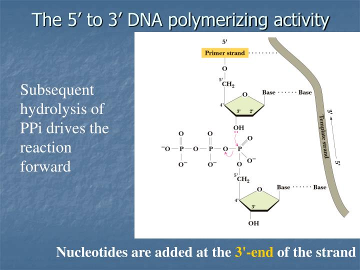 The 5' to 3' DNA polymerizing activity