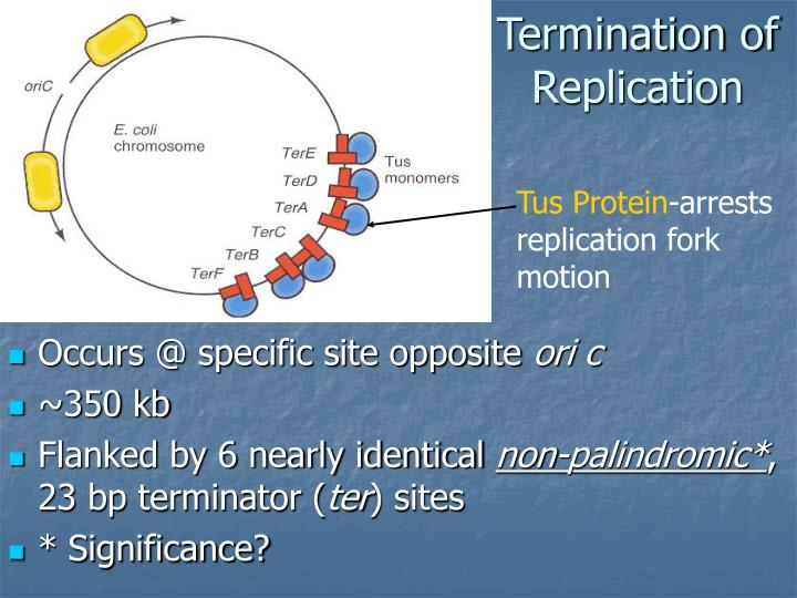 Termination of Replication