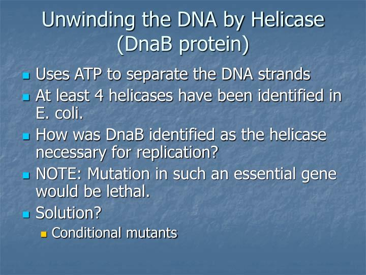 Unwinding the DNA by Helicase (DnaB protein)