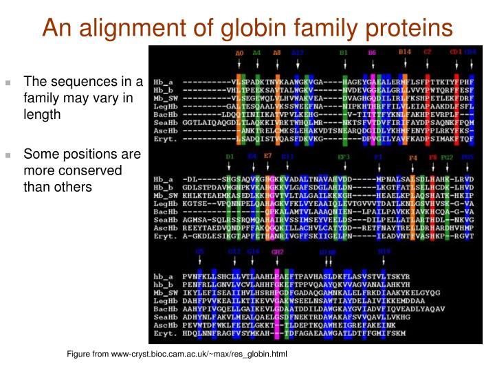 An alignment of globin family proteins