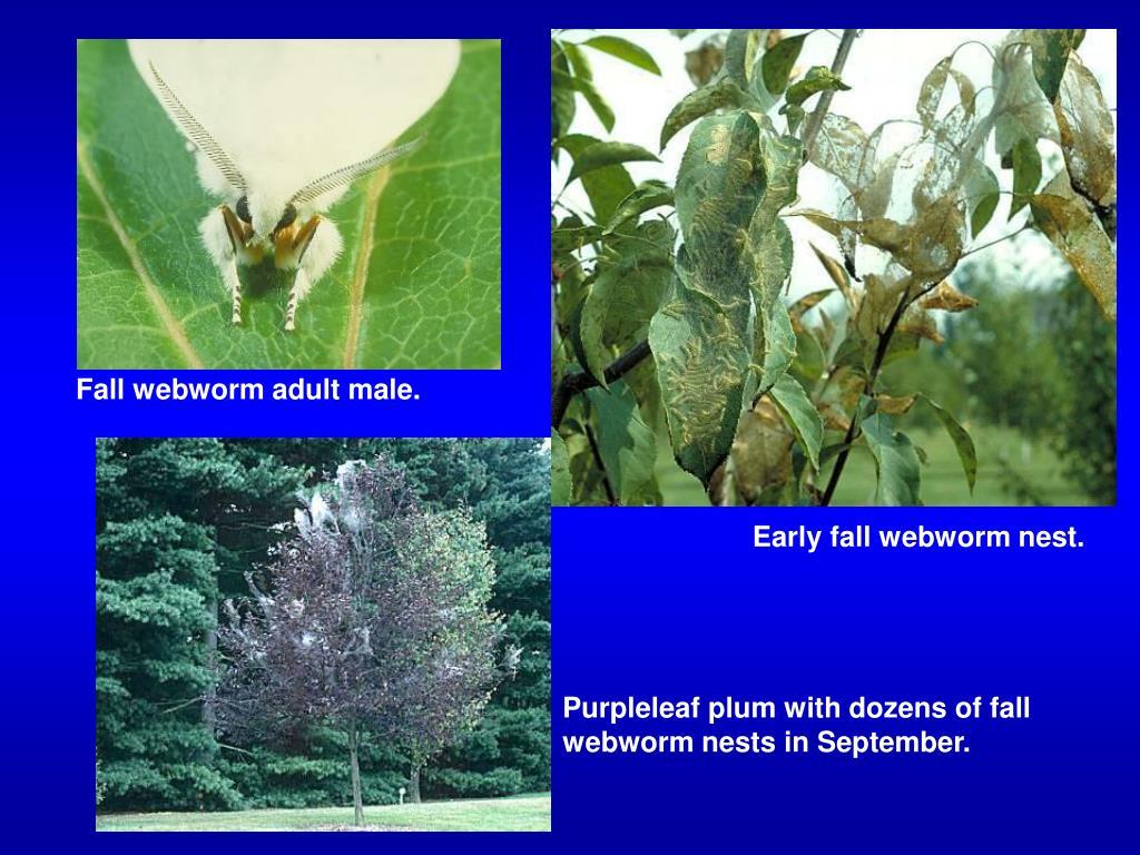 Fall webworm adult male.