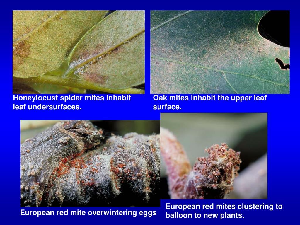 Honeylocust spider mites inhabit leaf undersurfaces.