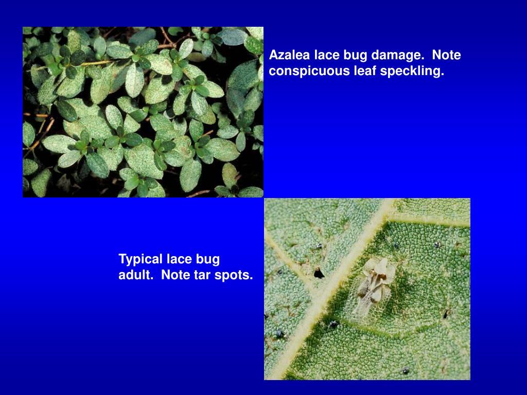 Azalea lace bug damage.  Note conspicuous leaf speckling.