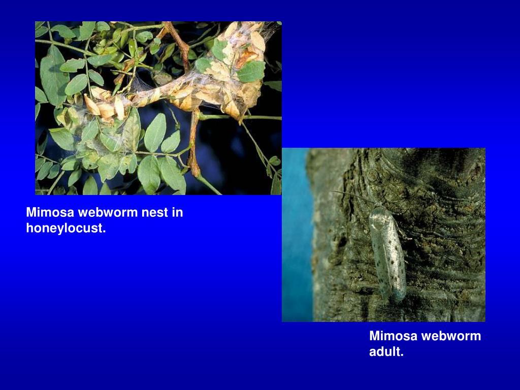 Mimosa webworm nest in honeylocust.