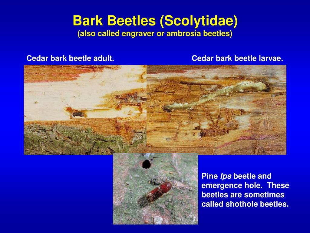 Bark Beetles (Scolytidae)
