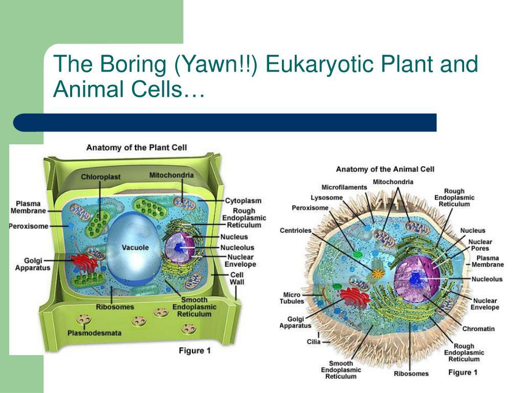 The Boring (Yawn!!) Eukaryotic Plant and Animal Cells…