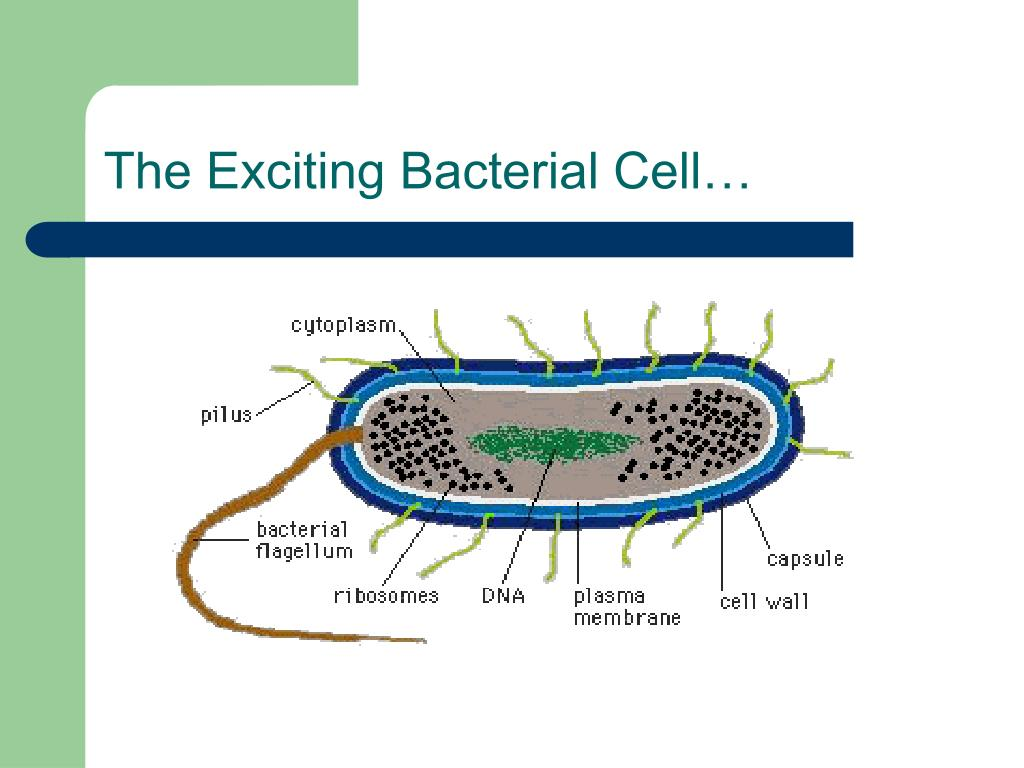 The Exciting Bacterial Cell…