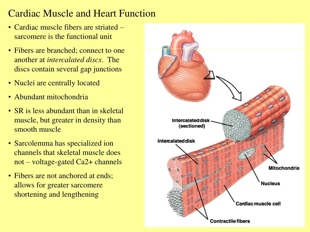 Ppt Cardiac Muscle And Heart Function Powerpoint Presentation Id