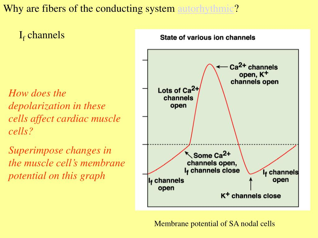 Why are fibers of the conducting system