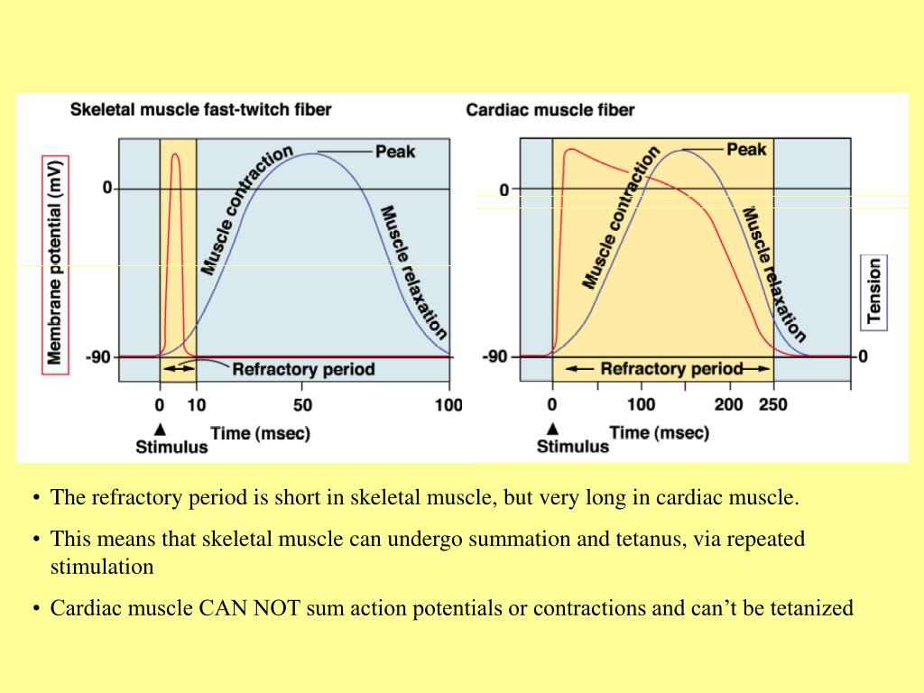 The refractory period is short in skeletal muscle, but very long in cardiac muscle.