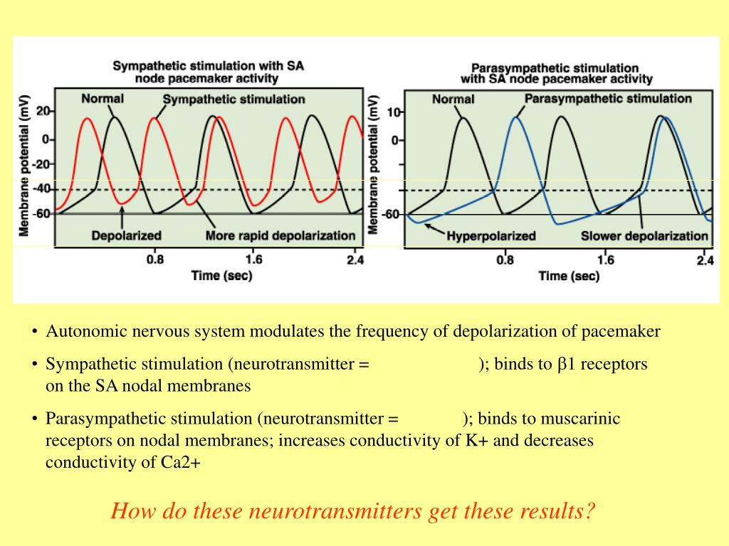 Autonomic nervous system modulates the frequency of depolarization of pacemaker