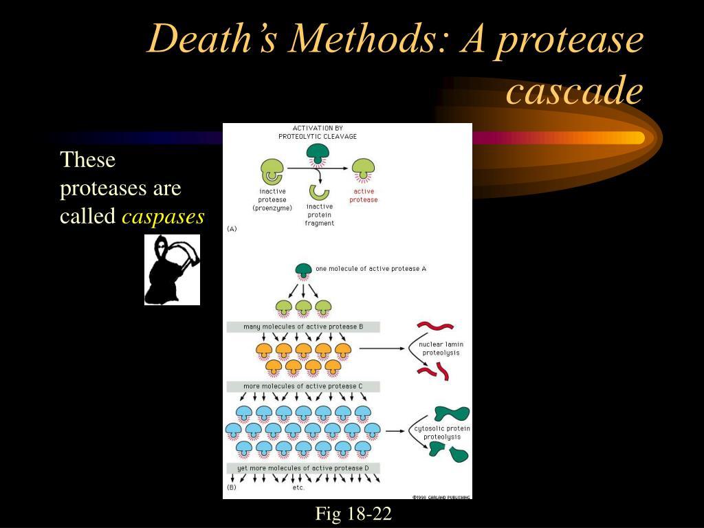 Death's Methods: A protease cascade