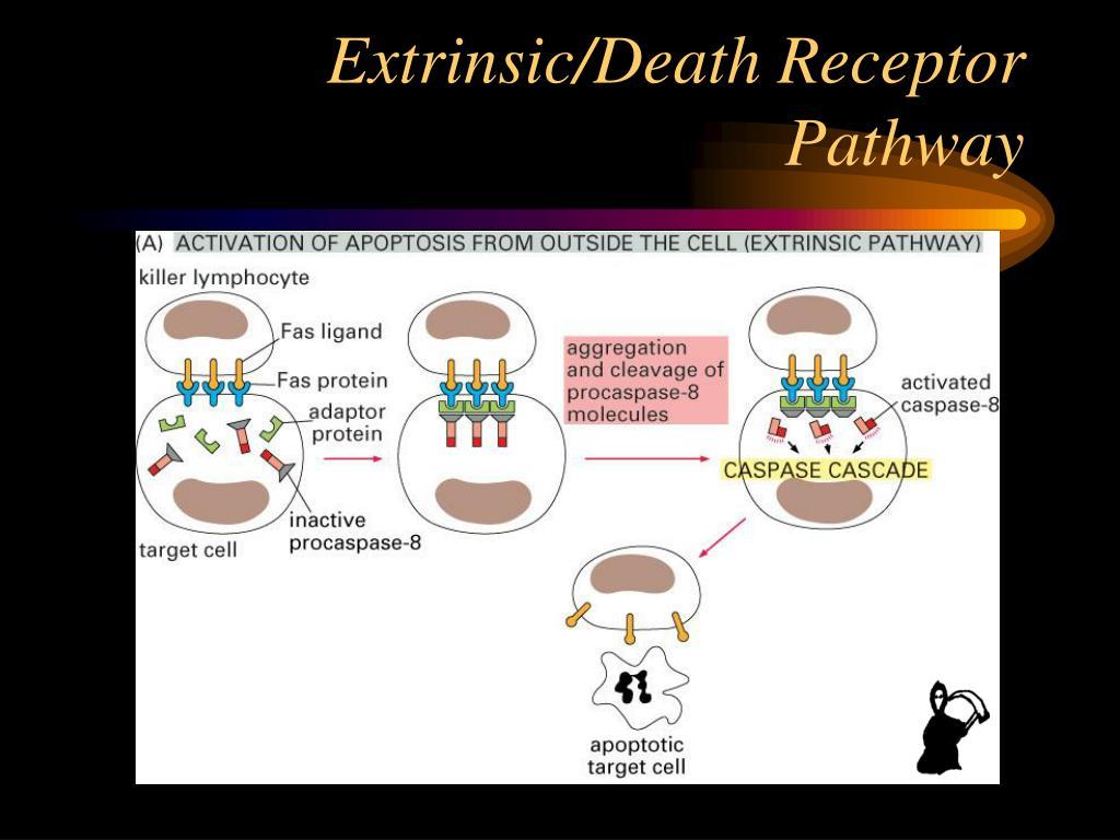 Extrinsic/Death Receptor Pathway