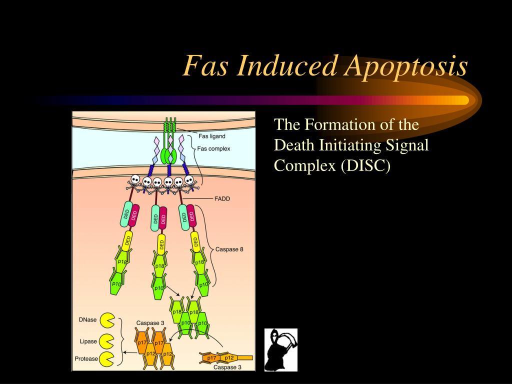 Fas Induced Apoptosis