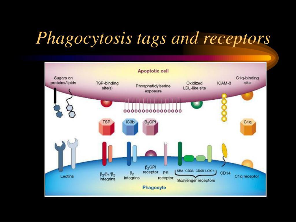 Phagocytosis tags and receptors