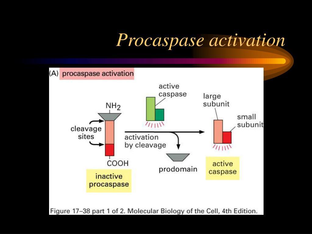 Procaspase activation