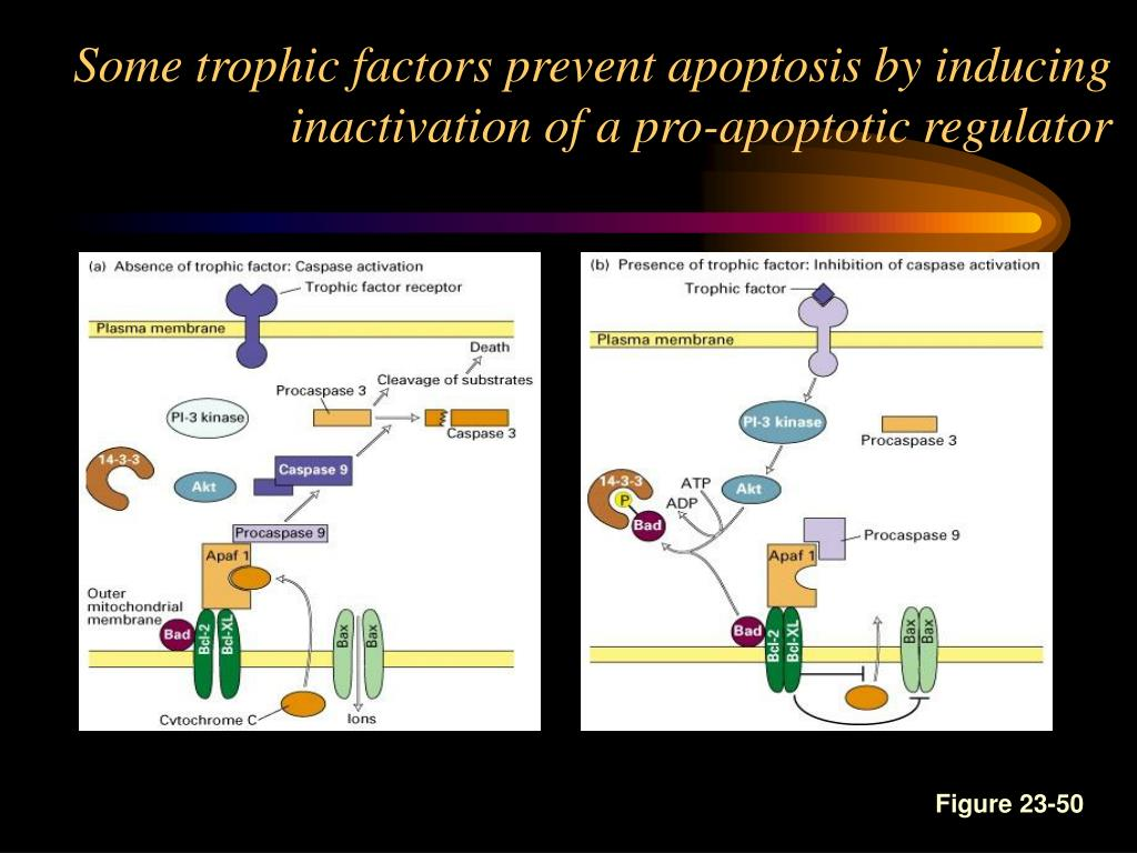 Some trophic factors prevent apoptosis by inducing inactivation of a pro-apoptotic regulator