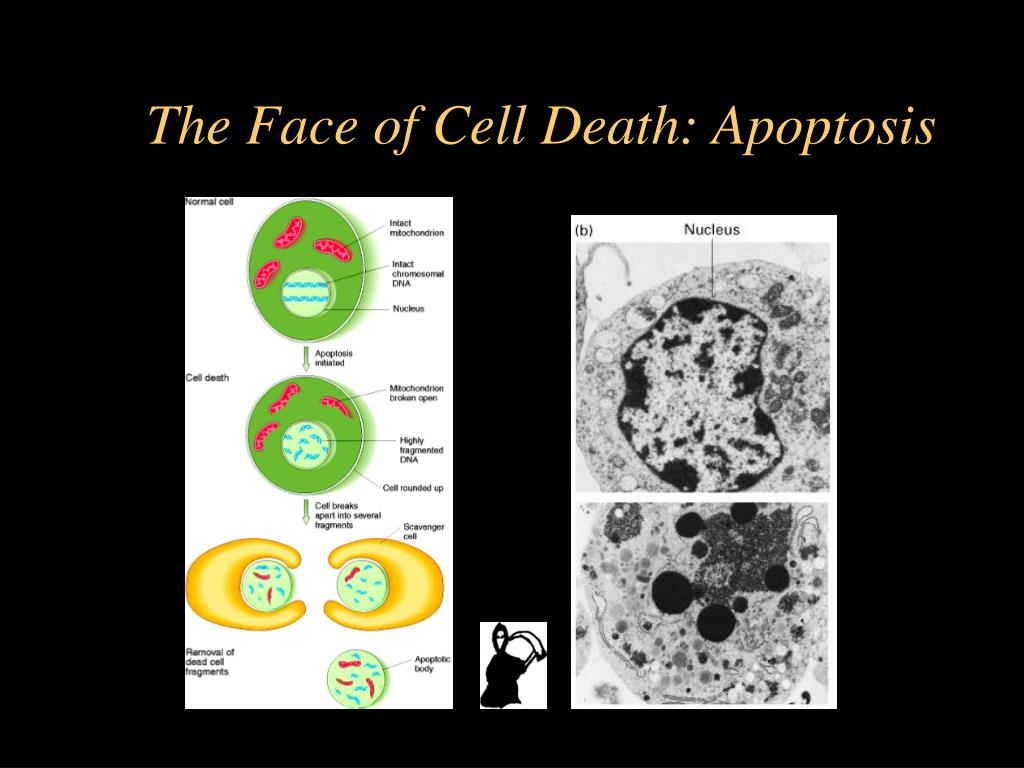 The Face of Cell Death: Apoptosis