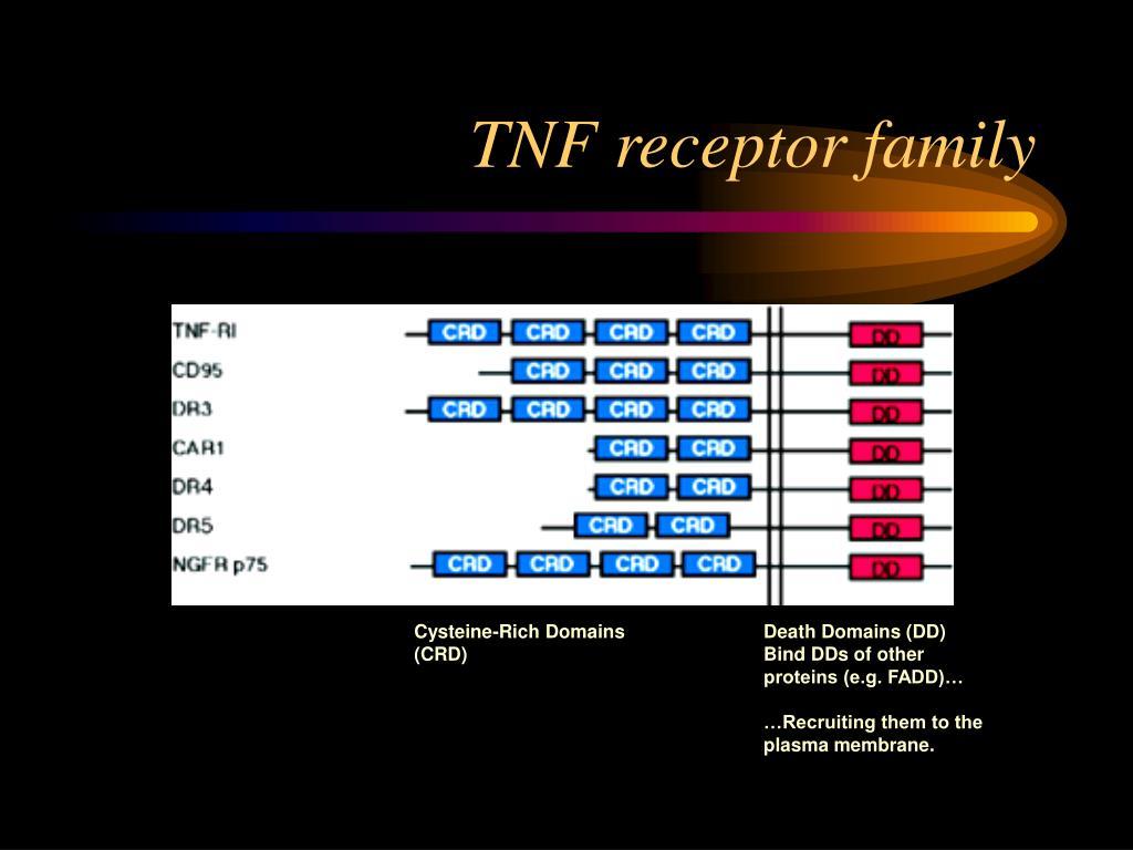TNF receptor family