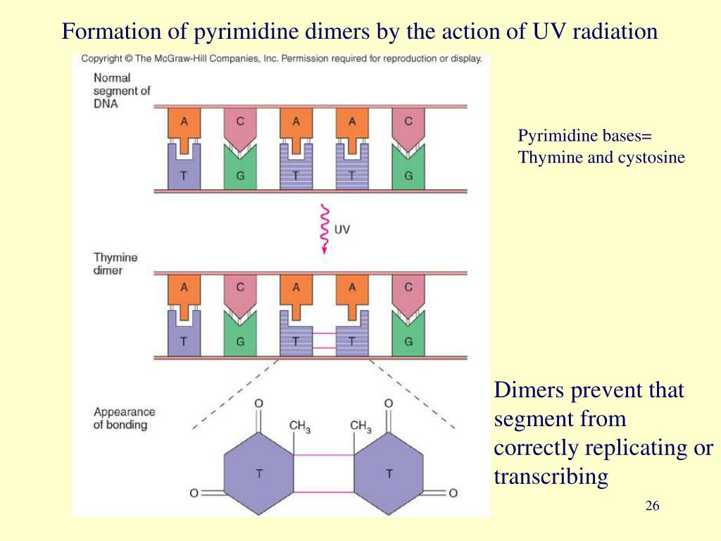 Formation of pyrimidine dimers by the action of UV radiation