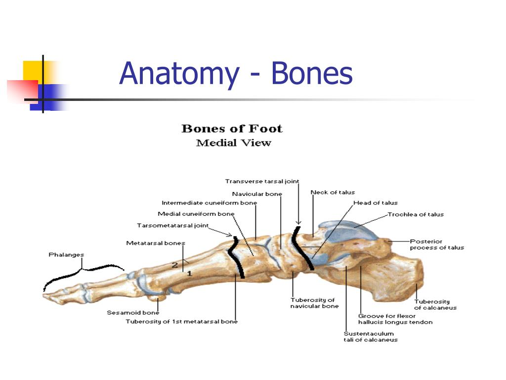 Anatomy - Bones