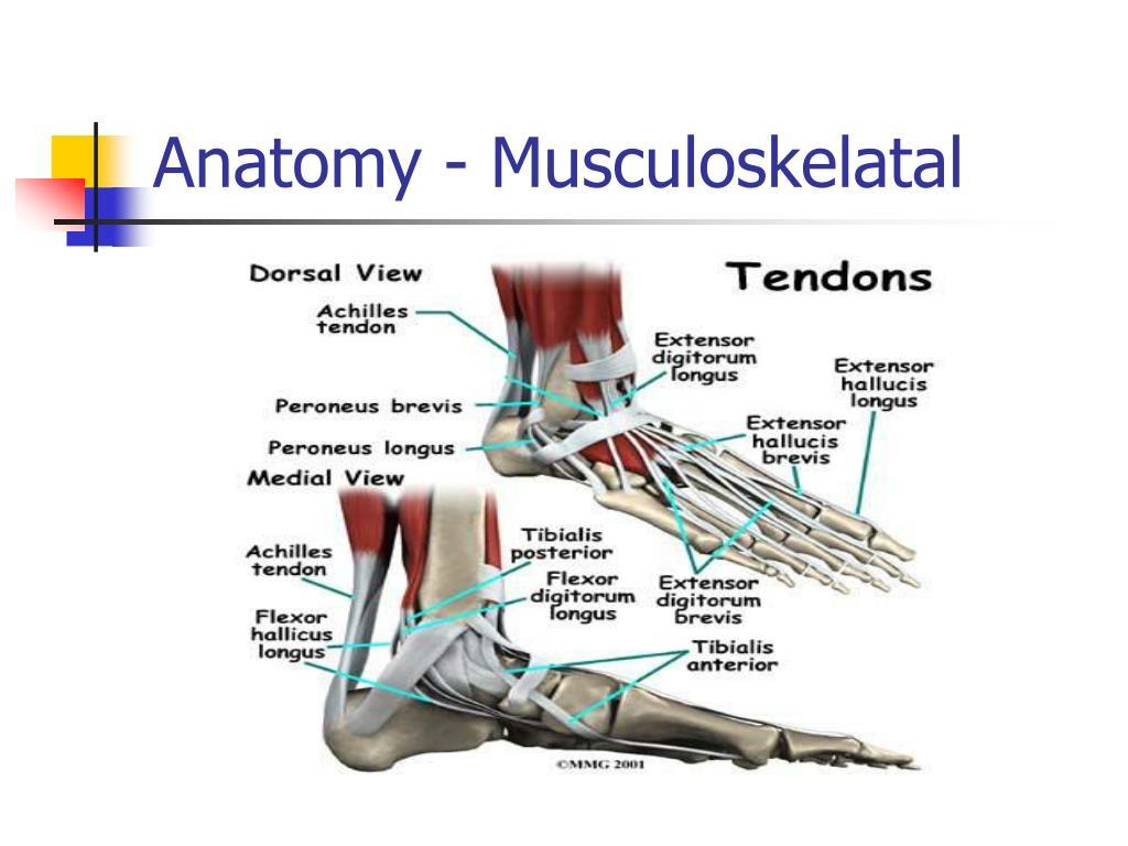 Anatomy - Musculoskelatal