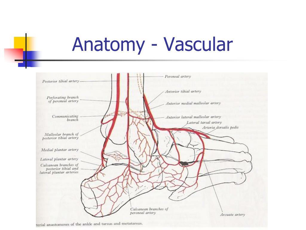 Anatomy - Vascular