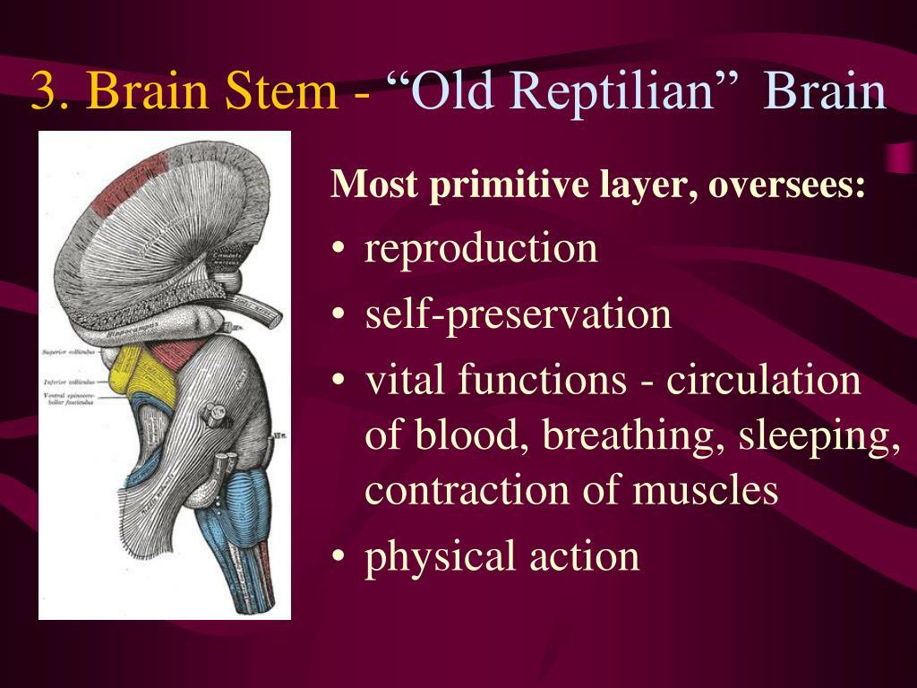 3. Brain Stem -