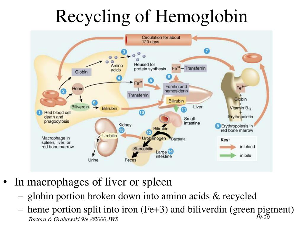 Recycling of Hemoglobin Components