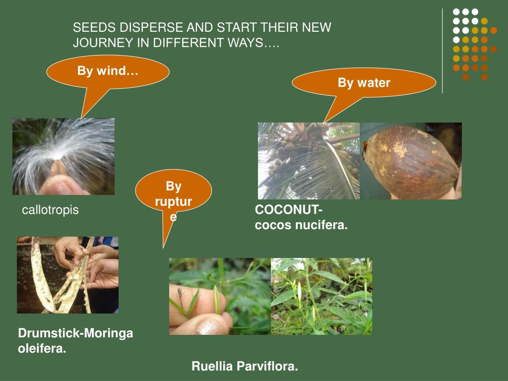SEEDS DISPERSE AND START THEIR NEW JOURNEY IN DIFFERENT WAYS….