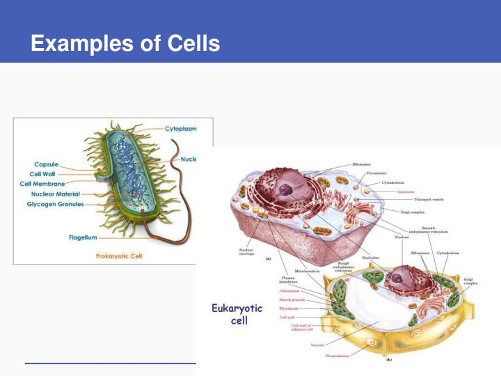Examples of cells