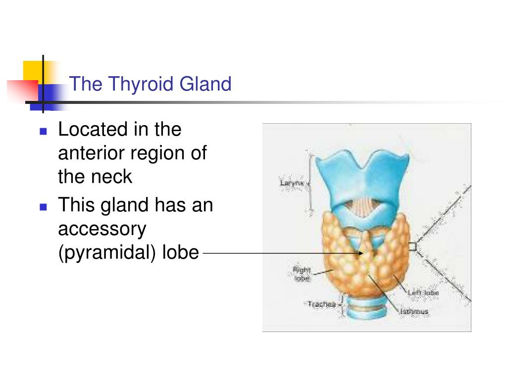 Ppt Thyroid Parathyroid Powerpoint Presentation Free Download