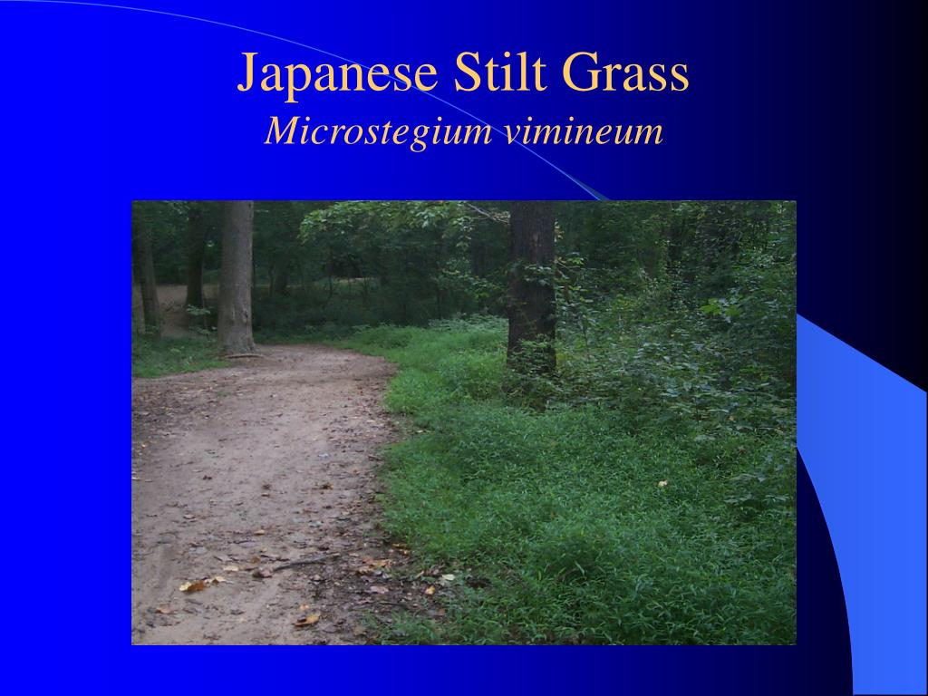 Japanese Stilt Grass