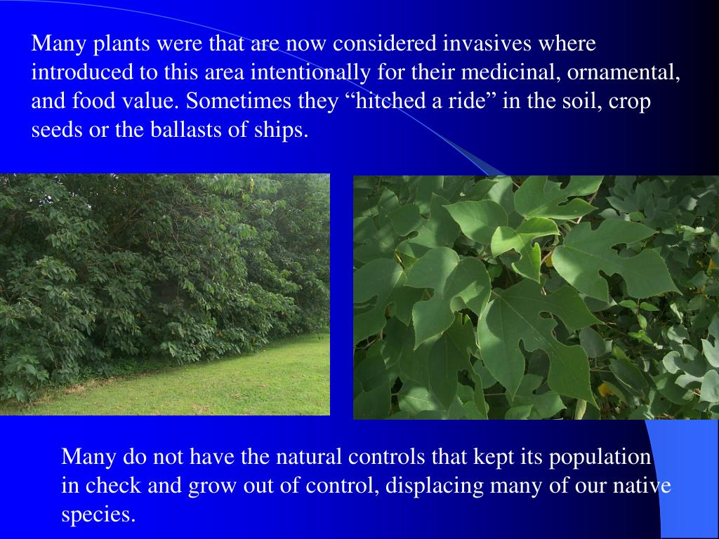 """Many plants were that are now considered invasives where introduced to this area intentionally for their medicinal, ornamental, and food value. Sometimes they """"hitched a ride"""" in the soil, crop seeds or the ballasts of ships."""
